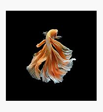 Beautiful Siamese Fighting Fish Photographic Print