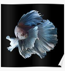 White Angel Siamese Betta Fish Poster