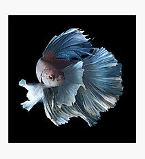 White Angel Siamese Betta Fish Photographic Print