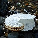 Paper Nautilus, Great Barrier Island, New Zealand. by Roy  Massicks