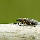 Band Eyed Brown Horse Fly by Sue Robinson