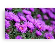 'Purple Dome' Aster - Symphyotrichum novae-angliae Canvas Print