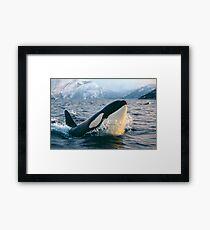 Orca - Tysfjord, Norwegen Gerahmtes Wandbild