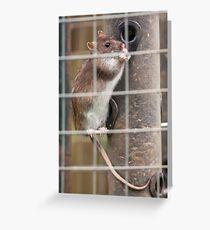 Brown Rat (Rattus novegicus) Greeting Card