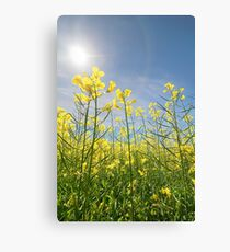 Sun Halo Over The Canola Canvas Print