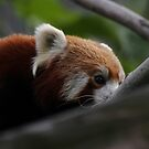 Red Panda  by miradorpictures