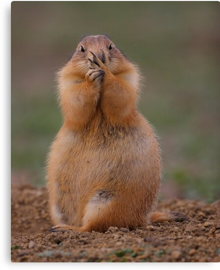 Prairie Dog with Funny Expression by WorldDesign