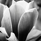 My Magnolia - in B&W by Jo Williams