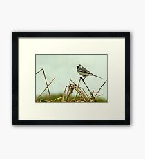 Pied Wagtail looking out... Framed Print