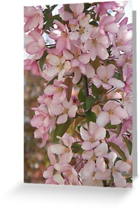 Crab Apple Blossoms by Judith Hayes