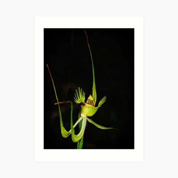 Fringed Mantis Orchid Art Print