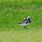 Pied Wagtail by M S Photography/Art