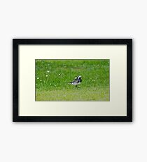 Pied Wagtail Framed Print