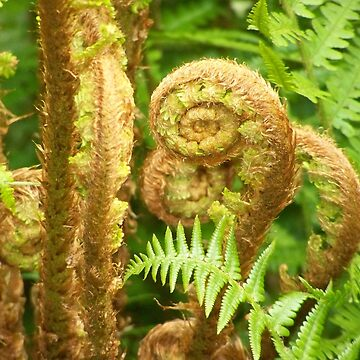 young fern - young fern by Boscastle