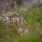 Mountain Hare by Karen Miller