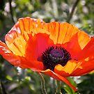 Poppy love by LadyFi