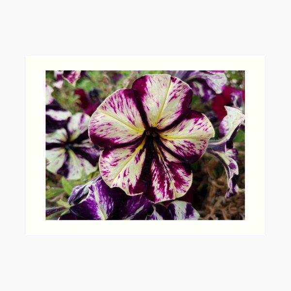 Violaceae VK1 Art Print