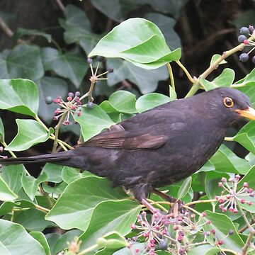 Mr Blackbird and the Ivy  berries by paulm100