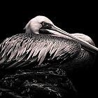 Peruvian Pelican by alan shapiro