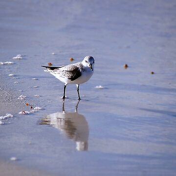 Sanderling And Reflection by cherylorraine