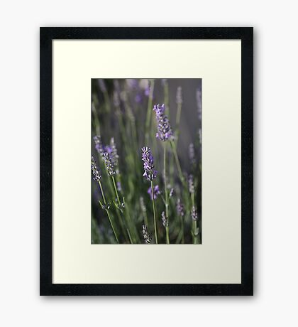 The Smell Of Lavender Framed Print