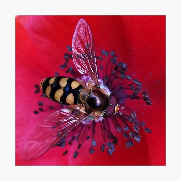 Hoverfly on a Poppy.  Photographic Print