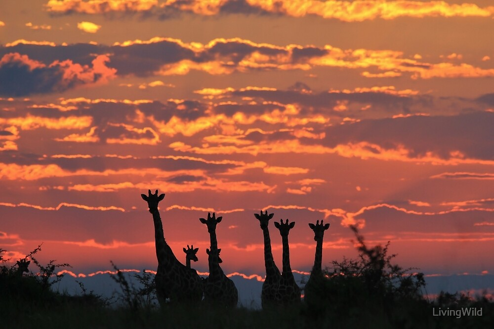 Quot Giraffe Sunset Sky African Wildlife And Nature
