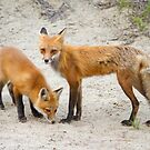 Red fox family by Jim Cumming