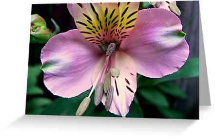 Alstroemeria or Peruvian Lily II by Tom Newman