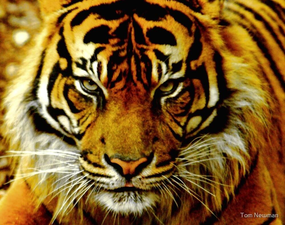 Sumatran Tiger III by Tom Newman