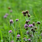 Red Clover Dewy Morning by Ben Waggoner