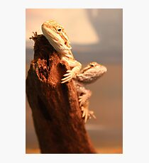 Baby Beardies Photographic Print