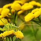 Female Speckled Bush-cricket by MikeSquires