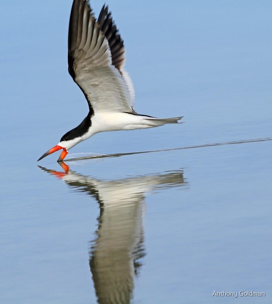 Black skimmer with reflction by jozi1
