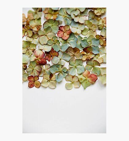Hydrangea Petals no. 1 Photographic Print
