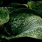 Hostas on a rainy day by cclaude