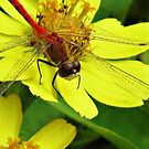 Meadowhawk Red on Yellow by shutterbug2010