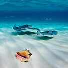 Cayman Stingrays by muzy