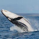 Humpback Calf Breaching by Ian Robertson