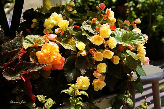 A Passion for Begonias by SummerJade