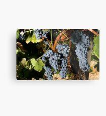 Grapes Vineyard  Metal Print