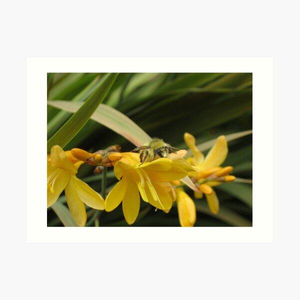 Bumble Bee on Yellow Crocosmia Art Print