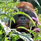 Orangutan by Sheila Smith