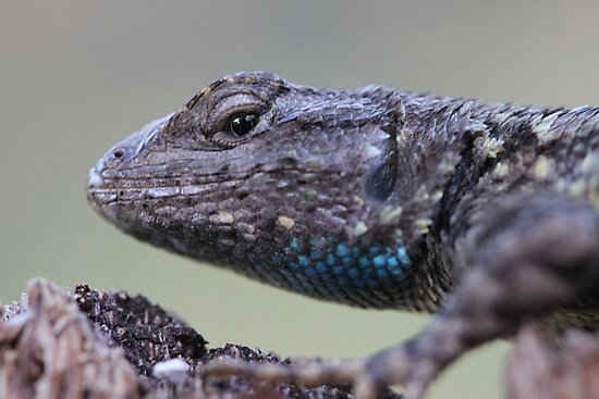 Western Fence Lizard by doubleheader