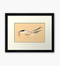 Common tern (Sterna hirundo) adult on the beach with a fish in its bill. Framed Print