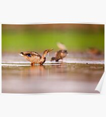 Wading birds in a foraging in a water pond  Poster