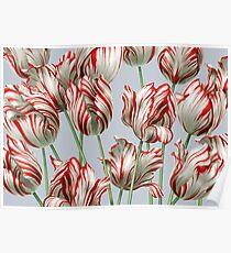 Tulipomania - The Semper Augustus Poster