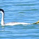 Pro Diver Western Grebe by Sandy O'Toole