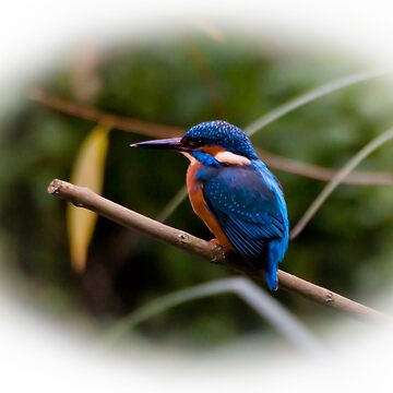 Eurasian Kingfisher by AndyBeattie