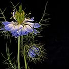 Nigella and Bud by Dianne English